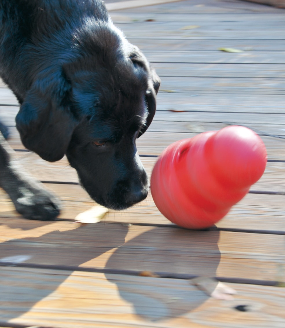 FIGURE 2. A Kong toy for dogs filled with frozen canned food, pursued by Cali the Labrador. Image courtesy of Judy Conley, LVT