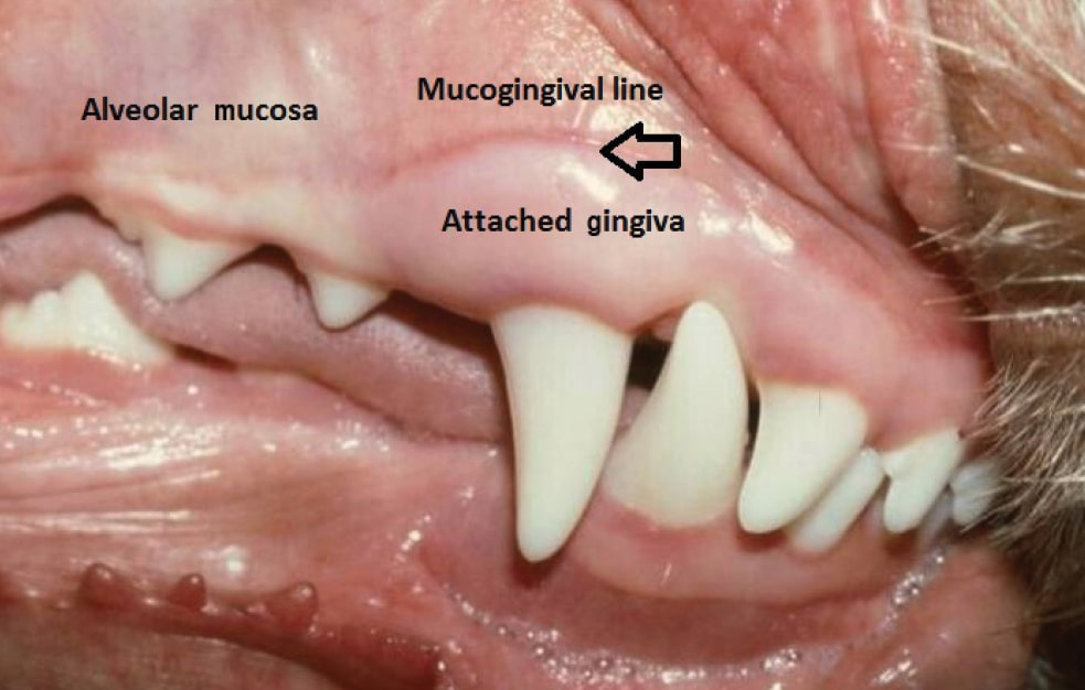 FIGURE 2. Buccal aspect of the maxillary gingiva showing delineations.