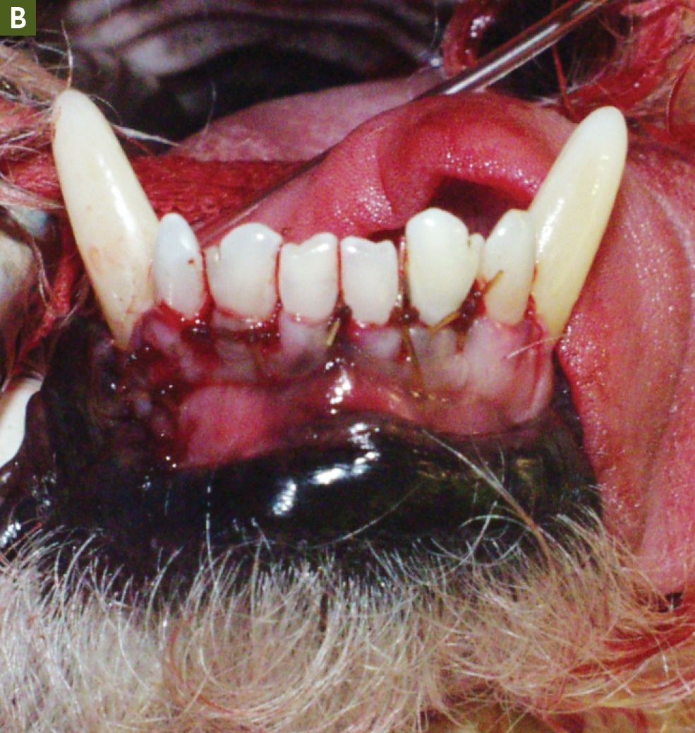 FIGURE 5B. Full-thickness flap after closure. Note the interdental sutures. Courtesy of R. Michael Peak, DVM, DAVDC.