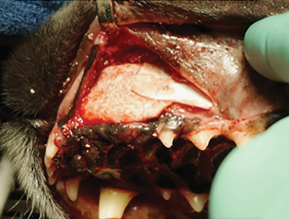 FIGURE 6. Barrier membrane placed to repair a maxillary defect. Image used by permission: Ossiflex Bone Membranes – Veterinary Transplant Services, Kent, WA.