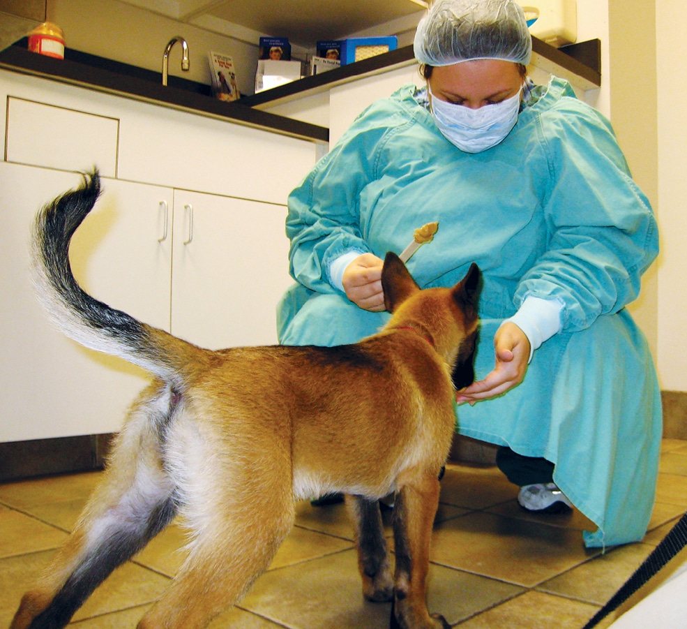 FIGURE 7. A puppy attending puppy class learning that people in surgery attire are the bearers of good treats.