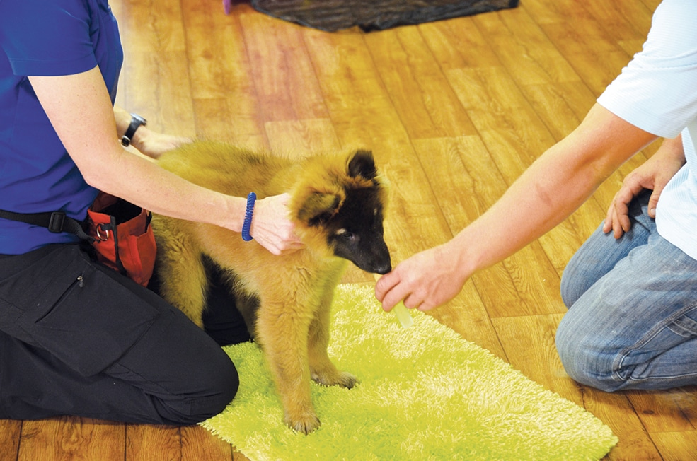 FIGURE 8. Practicing gentle control and handling in puppy class. Owners learn how to provide distractions and use reinforcement to make the experiences pleasant and fun.