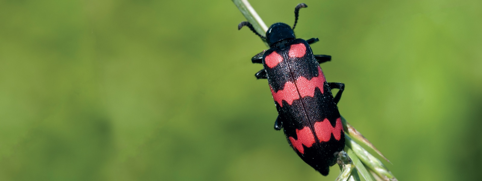 Cantharidin Toxicosis from Blister Beetles in Horses