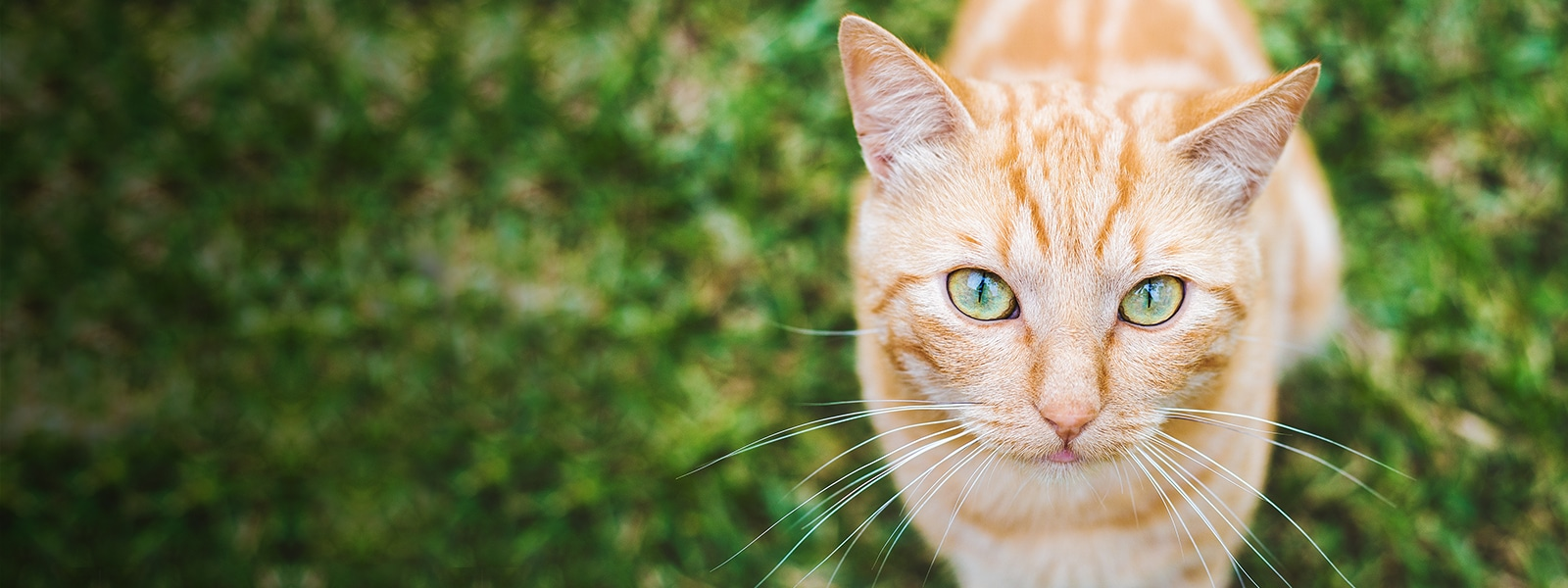 Feline Heartworm Disease: Fact or Fiction?