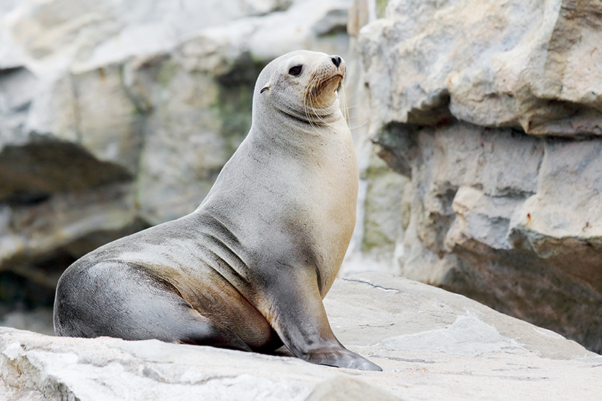First Sea Lion Treated for Cancer with Advanced Radiation