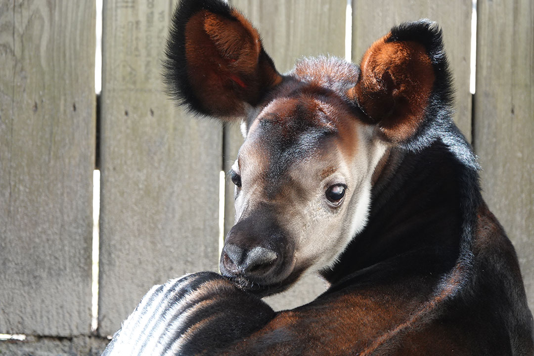 okapi calf has rare abnormality corrected