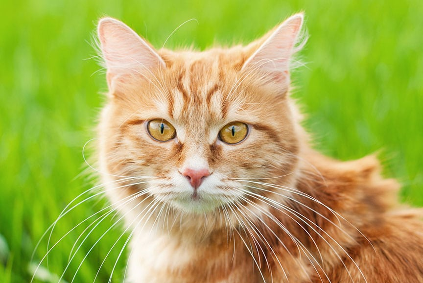 outdoor cats at risk for parasites