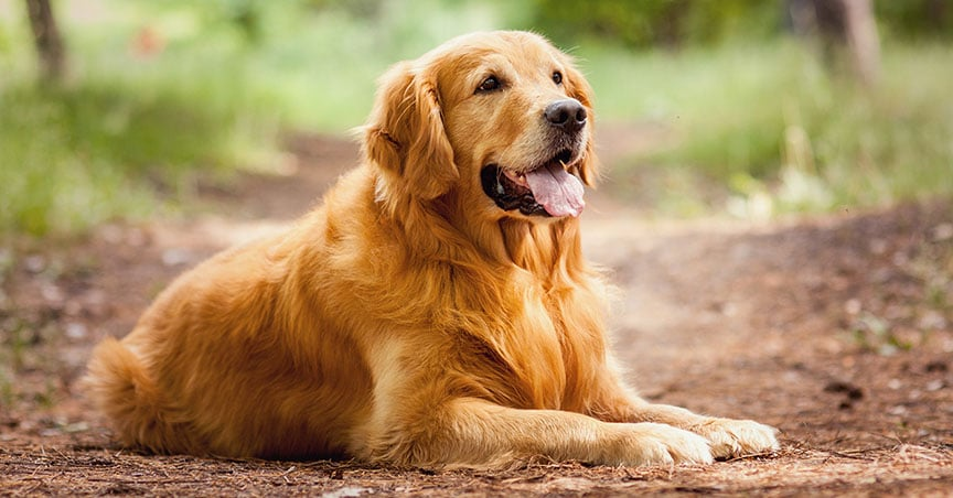 Strange Bedfellows: Omega-3 Fatty Acid Supplements and Hypothyroidism Both Linked to Decreased Risk of T-zone Lymphoma in Dogs