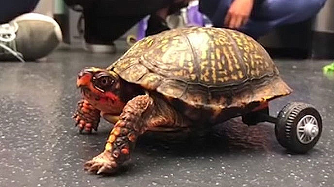 box turtle with LEGO wheelchair