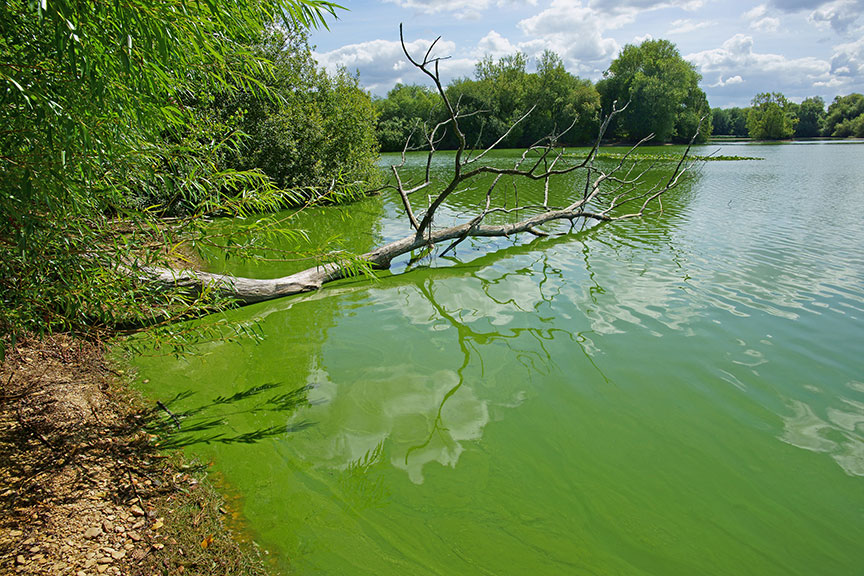 "Veterinarians: Blue-Green ""Algae"" — Cyanobacteria — Is Toxic For Dogs"