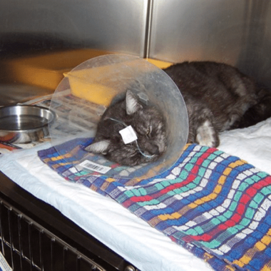 Figure 1. Cat with nasoesophageal feeding tube. RVNs can place these tubes to facilitate short-term feeding.