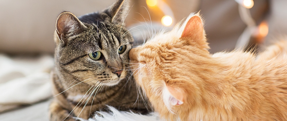 Can Cats Spread COVID-19 to Other Cats?