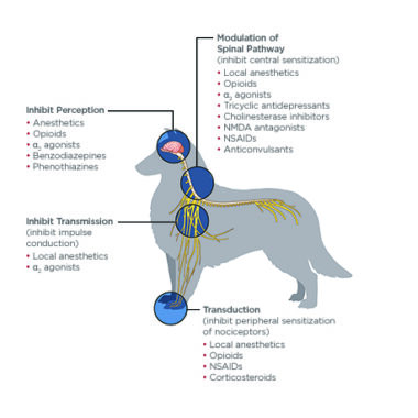 Figure 1. Pharmacologic effects of drugs on pain pathways. Nociception occurs via a complex system involving transduction, impulse conduction (transmission), and central nervous system processing (modulation and perception). NMDA=N-methyl- D-aspartate; NSAID=nonsteroidal anti-inflammatory drug. Kip Carter/Illustration
