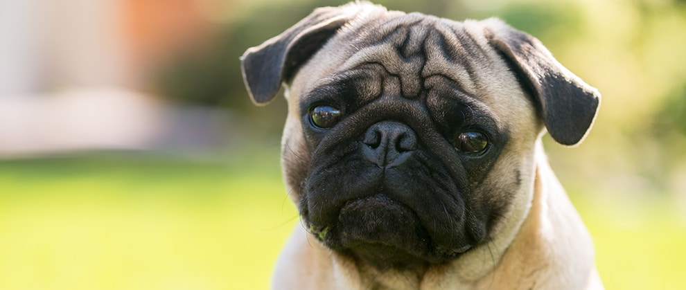 Coronavirus False Alarm for Pet Pug Highlights Importance of Confirmatory Testing