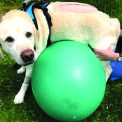 Figure 1. Dogs performing low-impact, weight-shifting exercises using different rehabilitation tools: (A) physioball