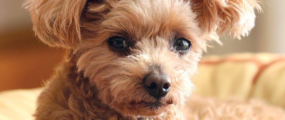 Concurrent Immune-Mediated Anemia and Thrombocytopenia in a Dog