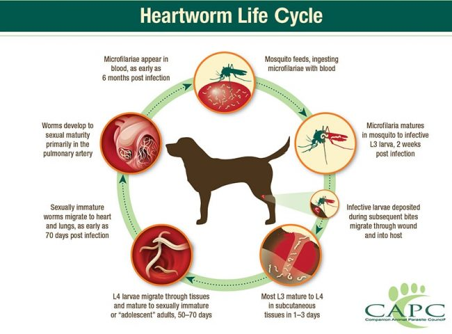 Figure 2. Life cycle of Dirofilaria immitis heartworms in the dog.2