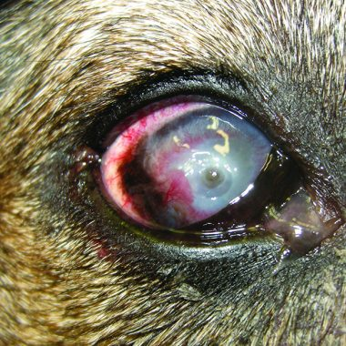 Figure 1. Descemetocele in a 12-year-old German shepherd. This dog had a long history of pannus in both eyes that was being treated with twice-daily steroids and cyclosporine. It was also on systemic prednisone for a dermatologic condition. A corneal ulcer had been noted 3weeks prior and became progressively deeper.