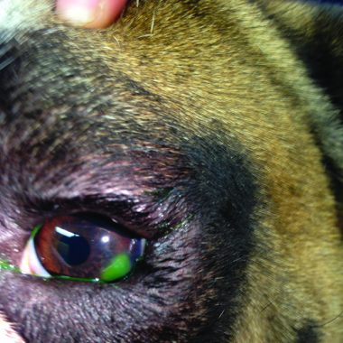 Figure 4. Superficial ulcer in a 3-year-old English bulldog. The ulcer caused spastic entropion, requiring the eyelid to be temporarily tacked away from the cornea to allow the ulcer to heal.