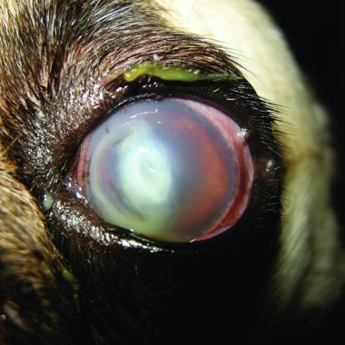 Figure 6. Melting corneal ulcer in a 9-year-old pug. The owners had noticed a bubble on the eye 4 days before presentation to their general practice veterinarian; they had noted the eye was cloudy 4 days prior to that. The veterinarian debrided the lesion and prescribed tobramycin. An E-collar was not used. The dog began rubbing the eye and was then referred with a melting corneal ulcer. The cornea perforated within the first 24 hours of hospitalization, and the eye was enucleated.