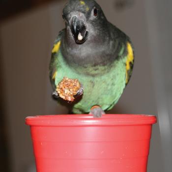 Figure 1. Meyer's parrot with Nutri-Berries food.