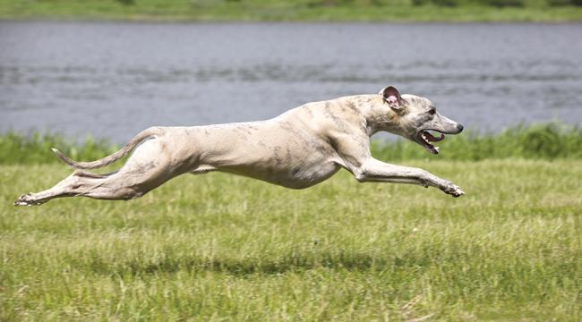Figure 5. Gallop. Liliya Kulianionak/shutterstock.com