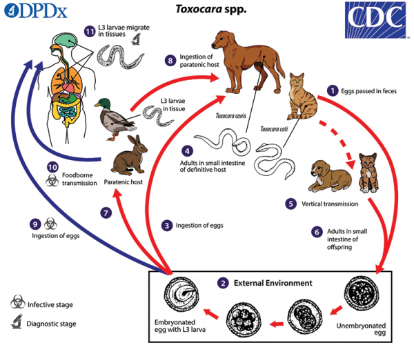 Figure 1. Life cycle of Toxocara species roundworms. Source: cdc.gov/dpdx/toxocariasis/modules/Toxocara_LifeCycle_lg.jpg