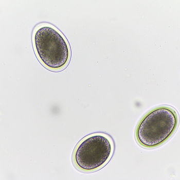 Figure 4. Toxocara canis eggs: A) unembryonated. Dew_gdragon/shutterstock.com