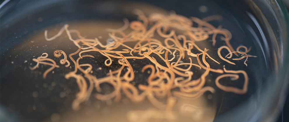 Roundworm Infections in Dogs